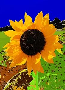 pennsylvania sunflower